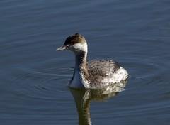 Horned Grebe (schreckpeter45) Tags: birding waterfowl grebe naturephotography birdphotography coastalphotography