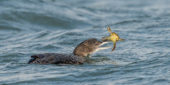 The frustration of being a crustacean! (tickspics ) Tags: uk portland dorset commonloon gaviaimmer greatnortherndiver