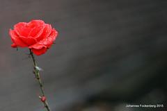 Weihnachtsrose (grafenhans) Tags: rot rose sony blumen bouquet alpha 700 makro tamron weihnacht a700 2590 alpha700