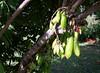 Averrhoa-bilimbi_HonoluluZoo_Cutler_20151231_152801 (wlcutler) Tags: hawaii waikiki oahu honolulu honoluluzoo averrhoa averrhoabilimbi pinnatelycompoundleaves