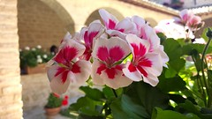 Bright (jpage3200) Tags: lighting pink flowers summer italy white color june digital garden monastery assisi