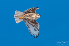 Ferruginous Hawk. Adams County, Colorado.