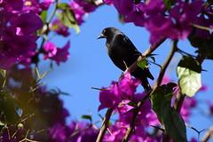 Cuervo enmarcado en bugambilias (morlom) Tags: bugambilias cuervo bugambilia enmarcadonatural