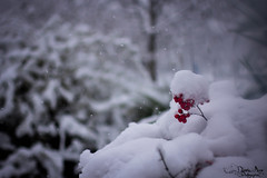 Chicchi di rosso (Daniela Miano) Tags: winter people italy snow cold animal neve freddo fiocchi