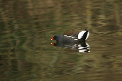 Photo of Moorhen threat posture