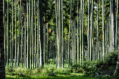 Stand tall - Areca palm trees (Bon Espoir Photography) Tags: sunlight india green grass leaves village shade tall trunks thin karnataka tumkur betelnuttrees nikond750 arecaplamtrees