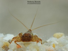 Ecdyonurus venosus nymph (Roberto PE) Tags: ephemeroptera heptageniidae venosus ecdyonurus