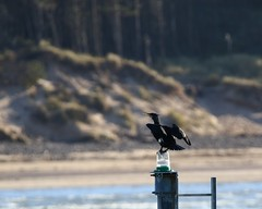 Cormorant (deedaw) Tags: harbour cormorant burghead