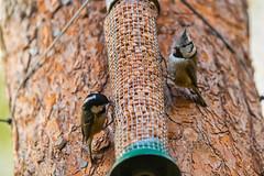 Loch Garten (Alan-Jamieson) Tags: birds scotland birdfeeder crestedtit rspb coaltit lochgarten