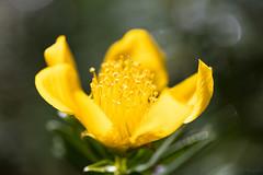 Fleur jaune en fort tropicale (zambaville) Tags: macro plante eos is usm runion proxy flore f28l ef100mm mdicinale lesquelin 5dsr fleurjauneforttropicalecanon