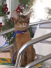 Ivanhoe on the balcony (2007) (Finn Frode (DK)) Tags: pet flower animal cat denmark kitten outdoor balcony olympus som somali somalicat ivanhoe e400 olympuse400 dusharaburningredivanhoe