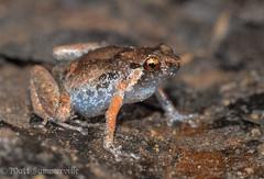 Creaking Nursery Frog (Cophixalus infacetus) (Mattsummerville) Tags: small nursery australia amphibian frog queensland cairns creaking microhylid cophixalus infacetus