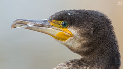 Cormorant portrait (Max Thompson Photography) Tags: uk wild portrait england food brown fish west detail green bird eye net nature yellow still fishing cornwall close bokeh wildlife south 9 cormorant 16 contact feed sat falmouth caught depth tangled swanpool
