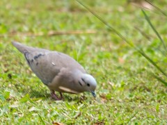 DSC_2280 (Bird Brian) Tags: eareddove