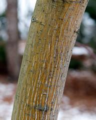 Acer pensylvanicum 'erythrocladum' (Plant Image Library) Tags: trees winter plants plant ecology maple massachusetts january newengland bark acer trunk immature deciduous botany striped phenology cultivar pensylvanicum erythrocladum arboldarboretum