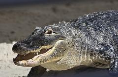 Big Alligator - Gatorland Orlando Florida (watts_photos) Tags: canon lens big orlando eyes florida gator reptile teeth alligator gators telephoto 400 swamp reptiles alligators 400mm gatorland 100400