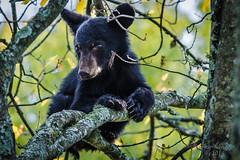 Snug as a Bear on a Limb (Ron Harbin Photography) Tags: bear park wild black mountains tree cub bears great national smoky