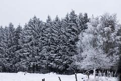 Frosty Day - Explore 03.02.2016 (Carolin de Verdier) Tags: trees bw white snow black pinetree fence blackwhite skne frost sweden gran sverige sn sv trd scania kristianstad svartvitt linderdssen hrby kinge