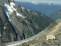 DSC02996 (forrest.croce) Tags: mountain mountains wildlife goats backpacking glaciers northcascades noca