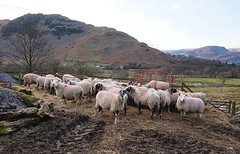 Patterdale on a crisp, clear day (coffee_ruth) Tags: england mountain lake snow mountains cold landscape spring sheep farm district sony lakes hills cumbria fells tarn lakeland fell glenridding a5000