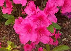 Rhododendron cv. (Oriolus84) Tags: pink flowers plant flower australia melbourne victoria rhododendron ericaceae azalea botanicgardens royalbotanicgardens unidentified rbg uid cultivar