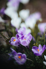 Hello Spring (MissZiyal3) Tags: flowers plants white nature canon 50mm spring purple bokeh crocus bloom 50mmf14 softlight canon50mmf14 primelens canon6d freelens freelensing