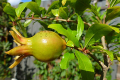 Pomegranate (dgardenia) Tags: flower fruit bulb garden tomato spring pond lily plumeria pomegranate vegetable amaryllis frangipani maco hyacinth passionfruit alyssum belladonnalily