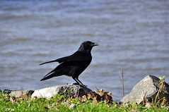 Krhe am Rheinufer (MacroManni) Tags: germany deutschland kln nrw krhe rabenvogel rheinpark