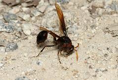 Delta pyriforme (Potter Wasp) - Singapore (Nick Dean1) Tags: insect singapore wasp delta arthropoda arthropod sungeibuloh hexapod hymenoptera insecta vespidae eumeninae hexapoda potterwasp sungeibulohwetlandreserve