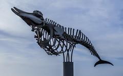 Whale Skeleton (Nomis.) Tags: canon skeleton eos rebel fuerteventura whale canaryislands lightroom islascanarias elcotillo beakedwhale 700d canon700d canoneos700d t5i cuviersbeakedwhale ziphiuscavirostris zifiodecuvier canonrebelt5i rebelt5i lasendadeloscetceos sk201602014215editlr sk201602014215 cetaceanpathway commonbeakedwhale