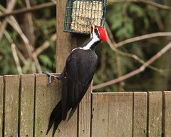 Pileated Woodpecker (jerrygabby1) Tags: