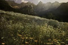 Flower Meadow (clabudak) Tags: flowers mountains texture nature outdoors meadow creativephotography fugitivemoment untouchabledream greenbeautyforlife netartii