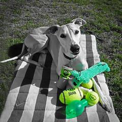 Green Toys (DiamondBonz) Tags: dog pet green hound whippet spanky dogchal