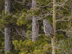 Yesterday's treat - a Great Gray Owl (annkelliott) Tags: trees winter canada tree bird nature birds forest outdoor hunting greatgreyowl alberta owl perched greatgrayowl ornithology avian birdofprey coniferous distant conifer strix excellence strigiformes strixnebulosa strigidae backsideview annkelliott allrightsreserved avianexcellence anneelliott nwofcalgary fz200 fz2003 anneelliott2016 28february2016