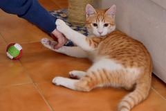 Gato Jinks  (22) (adopcionesfelinasvalencia) Tags: gato jinks