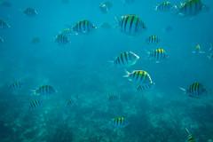 Fish, Montego Bay, Jamaica (ncs1984) Tags: ocean travel blue sea fish nature animal swimming swim canon bay underwater snorkel wildlife ngc snorkeling jamaica caribbean fishes amateur montegobay shoal montego 6d caribbeansea canonef1635mmf28 canonef1635f28 canon6d