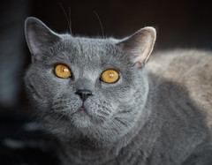 Conner (British shorthair cat) (michaelbeyer_hh) Tags: cat olympus britishshorthair penf