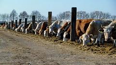 20150226 Brandenburg Khe Radweg Berlin Leipzig (54) (j.ardin) Tags: germany deutschland cow cattle alemania allemagne brandenburg khe buey rinder viehzucht buf bouvillon radwegleipzigberlin wittenbergnachjterbog