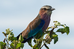 Lilac-Breasted Roller (siraf72) Tags: bird tanzania lilac roller colourful breasted lilacbreastedroller