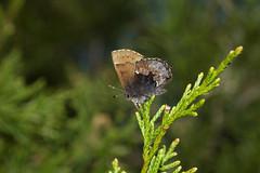 Henry's Elfin, Flat Rock Cedar Glade, Murfreesboro, Tennessee (kmalone98) Tags: cedars junipers henryselfin flatrockcedarglademurfreesborotn perchedhenryselfin baskinghenryselfin