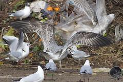 Caspian gull / Larus cachinnans / Pontische meeuw 2cy (Herman Bouman) Tags: caspiangull laruscachinnans pontischemeeuw