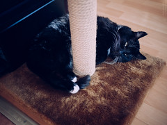 Between the scratching post and the warmer (lar-f) Tags: pet animal cat eyes floor indoor whiskers sleepy kitteh meow scratchingpost