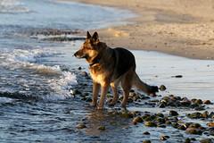 Rgen 2016 (dulli2010) Tags: dog dogs water strand meer wasser outdoor hund germanshepherd rgen ostsee ruegen hunde dsh gsd deutscherschferhund