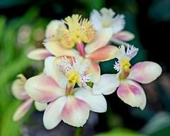 Orchid beauty (sarah.deveau) Tags: park flowers summer orchid flower garden nikon bokeh delicate d3300