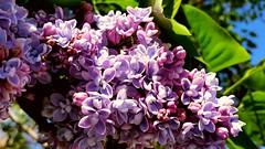 springtime bloom (SqueakyMarmot) Tags: vancouver bloom flowering colourful oakridge lilacs springtime langaracollege west49thavenue