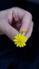 وردة صفراء (abuhammamksa) Tags: roses flower rose وردة ورود زهرة flowres طبيعة ورده زهور وردةصفراء