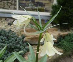 Fritillaria raddeana (Kniphofia) Tags: bulb alpine harlowcarr fritillaria raddeana