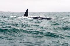 Un incontro inaspettato (forastico) Tags: gansbaai sudafrica balena d3200 forastico