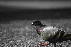 Nude (evan_searles) Tags: bw colour bird nude pigeon exposed