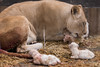 DSC_3772WM (Linda Smit Wildlife Impressions) Tags: cats white nature animal cat mammal photography big nikon outdoor african wildlife birth lion d750 cubs endangered lioness bigcats cecil carnivore lioncubs givingbirth